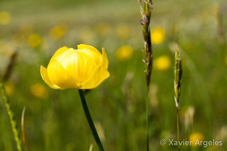 Fleurs dans les Pyrénées 2010