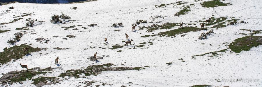 Isards dans la neige